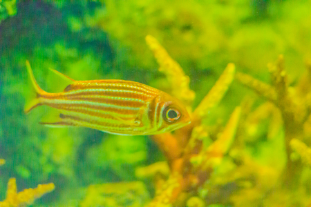 Red Striped Squirrel fish (Sargocentron rubrum) also known as redcoat, is a member of the family Holocentridae of the order Beryciformes. Squirrelfish in general are large, active, and red in color.