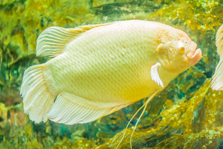 Albino giant gourami (Osphronemus goramy) fish, large gourami native to Southeast Asia. It lives in fresh or brackish water, particularly slow-moving areas such as swamps, lakes, and large rivers.