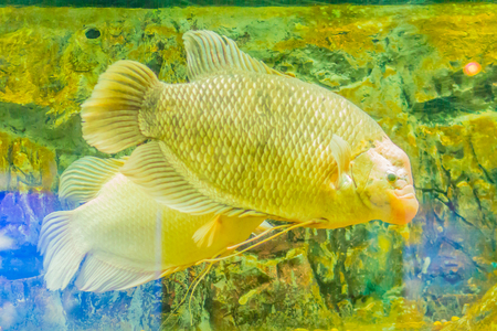 Giant gourami (Osphronemus goramy)fish, a species of large gourami native to Southeast Asia. It lives in fresh or brackish water, particularly slow-moving areas such as swamps, lakes, and large rivers Stock Photo