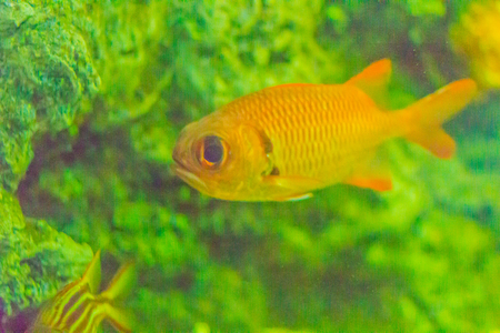 Cute Blotcheye soldierfish (Myripristis murdjan) is swimming in aquarium. Myripristis murdjan is a species of soldierfish found in the Indo-Pacific. 版權商用圖片