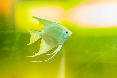 Cute angelfish (Pterophyllum) fish, a small genus of freshwater fish from the family Cichlidae known to most aquarists as angelfish.