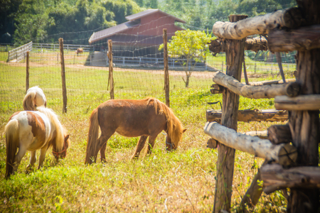 Cute miniature horse or pony in the farm. Cute little pony. Miniature horses are friendly and interact well with people.