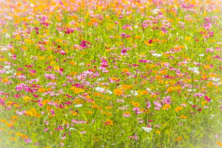 Colorful background of Cosmos flowers in the field on sunny day. Summer and spring season flowers blooming beautifully in the field.