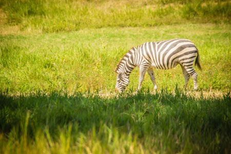 Zebra eating grass in the green field in the sunny day. Cute zebra in the green field.