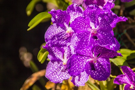 Vanda Sansai Blue orchid flowers under sunshine look like purple orchid . Vanda coerulea, commonly known as blue orchid, blue vanda or autumn ladys tresses.