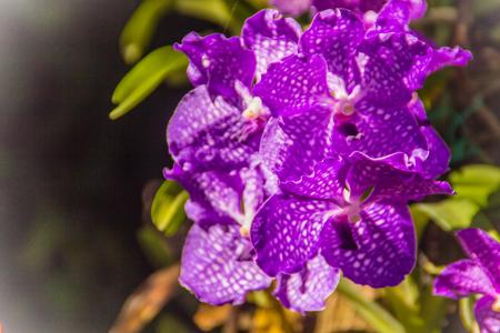 Vanda Sansai Blue orchid flowers under sunshine look like purple orchid . Vanda coerulea, commonly known as blue orchid, blue vanda or autumn ladys tresses.