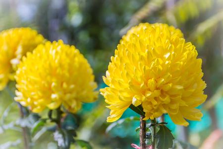 美しい黄色の菊の花は、ママや菊とも呼ばれ、アステラセ科の菊の花を開花しています。彼らはアジアと北東ヨーロッパに自生しています。