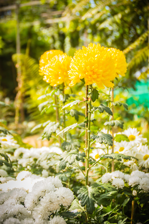 Beautiful yellow Chrysanthemums flower, also known as mums or chrysanths, are flowering plants of the genus Chrysanthemum in the family Asteraceae. They are native to Asia and northeastern Europe.
