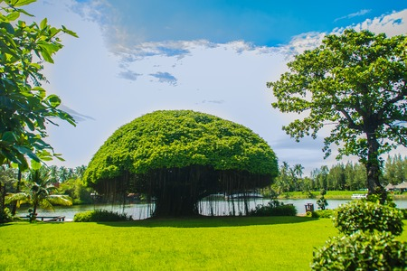 Mushroom shaped banyan tree against green grass field and blue sky background. Banyan is a plant that grows on another plant, when its seed germinates in a crack or crevice of a host tree or edifice. Imagens