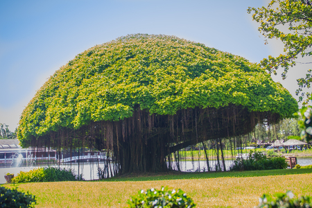 Mushroom shaped banyan tree against green grass field and blue sky background. Banyan is a plant that grows on another plant, when its seed germinates in a crack or crevice of a host tree or edifice. Stock Photo