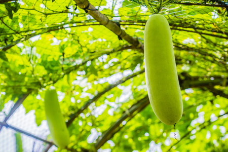 Young green wax gourd hanging on the vine. Benincasa hispida, the wax gourd, also called ash gourd, white gourd, winter gourd, tallow gourd, ash pumpkin, and winter melon and Chinese preserving melon.