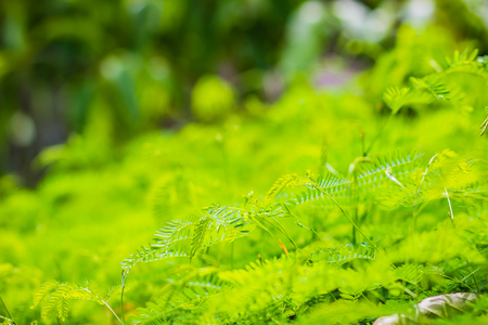 Young green leaves ans sprout of Leucaena leucocephala, a small fast-growing mimosoid tree and also known as white leadtree, jumbay, river tamarind, subabul, and white popinac. Stock Photo