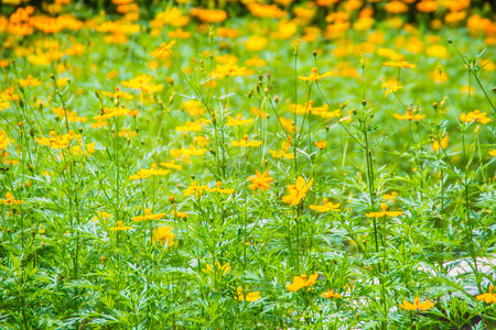 Field of yellow Cosmos sulphureus flowers with green leaves background. Cosmos sulphureus is also known as sulfur cosmos and yellow cosmos. Stock Photo