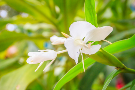 White ginger flower hedychium coronarium with green leaves stock photo white ginger flower hedychium coronarium with green leaves hedychium coronarium also known as white garland lily or white ginger lily is mightylinksfo