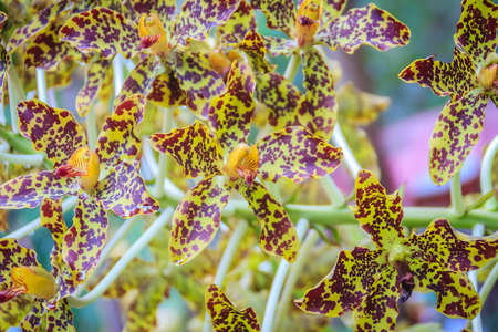 Beautiful tiger orchid flower (Grammatophyllum speciosum) in the public national park. Grammatophyllum speciosum, also called giant orchid, tiger orchid, sugar cane orchid or queen of the orchids.