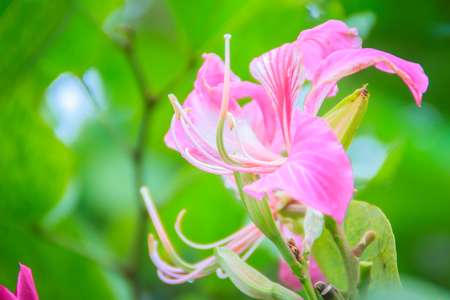 Beautiful pink orchid tree flower (Phanera purpurea) on tree with green leaves. Phanera purpurea is also known as orchid tree, purple bauhinia, camels foot, butterfly tree, and Hawaiian orchid tree.
