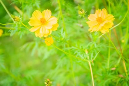 Beautiful yellow cosmos flower (Cosmos sulphureus) in the meadow field. Cosmos sulphureus is also known as sulfur cosmos and yellow cosmos and native to Mexico.