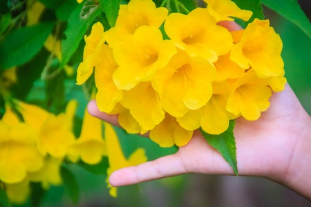 Yellow trumpetbush flower (Tecoma stans) in the garden. Tecoma stans is a species of flowering perennial shrub in the trumpet vine family, also known as yellow trumpetbush, yellow bells, yellow elder, ginger-thomas.