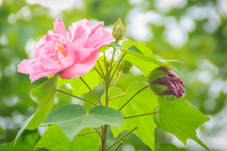 Beautiful Confederate roses flower (Hibiscus mutabilis) on green background, also known as the Confederate rose, Dixie rosemallow, or the cotton rosemallow, is a plant noted for its showy flowers.
