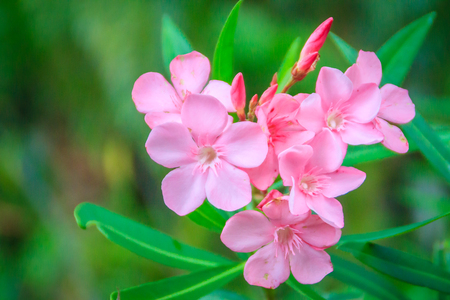 Pink Nerium oleander flowers with green leaves background. Nerium oleander is a shrub or small tree in the dogbane family Apocynaceae, toxic in all its parts.