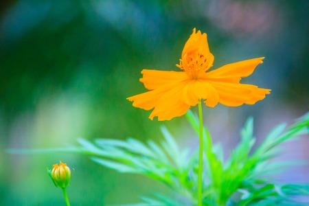 Beautiful yellow cosmos flower cosmos sulphureus in the meadow beautiful yellow cosmos flower cosmos sulphureus in the meadow field cosmos sulphureus is mightylinksfo