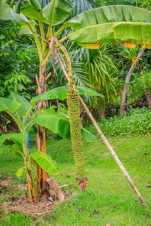 Amazing thousand finger banana fruits on tree (Musa chiliocarpa Back). Extra long up to 2 meters of comb that huddling together in a comb. Ripe yellow Sweet, edible and rare hard to find.