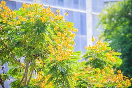 Beautiful yellow Peltophorum pterocarpum flowers on tree, commonly known as copperpod, flamboyant, flametree, yellow poinciana or yellow-flame.