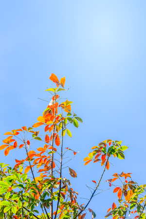 Red leaves and yellow young bud of silk-cotton tree flower (Cochlospermum religiosum) with blue sky background and copy space for text. Cochlospermum religiosum, is also known as buttercup tree.