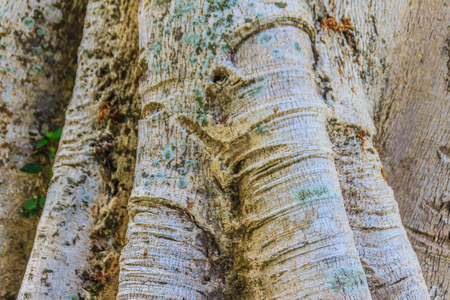 Baobab tree trunk texture background. Abstract pattern on bark of the baobab tree. Imagens