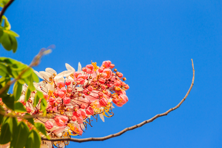 Pink shower tree flowers (Cassia bakeriana) on blue sky background. Cassia bakeriana, commonly called Wishing Tree, Pink Shower, is a small flowering tree native to forested areas of Thailand. Stock Photo