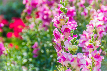 Pink flowers of snapdragon (Antirrhinum majus) on the flowerbed background. Antirrhinum majus, commonly called snapdragon, is an old garden favorites that, in optimum cool summer growing conditions. Stok Fotoğraf