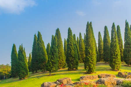 Beautiful small hill landscape with tall pine trees on green grass field and blue sky white cloud background. Juniperus chinensis pine trees on the small green hill with blue sky and white cloud.