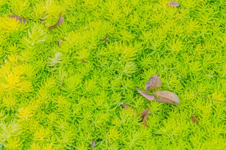 Green background of sedum acre, also known as the goldmoss stonecrop, mossy stonecrop, goldmoss sedum, biting stonecrop and wallpepper. Biting stonecrop is a low-growing plant on thin dry soils. Stock Photo