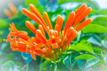 Orange trumpet flowers (Pyrostegia venusta) blooming with green leaves background. Pyrostegia venusta is also known as Orange trumpet, Flame flower, Fire-cracker vine, flamevine, orange trumpetvine. 스톡 콘텐츠