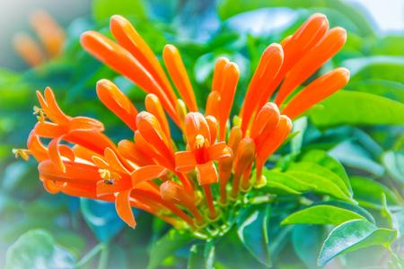 Orange trumpet flowers (Pyrostegia venusta) blooming with green leaves background. Pyrostegia venusta is also known as Orange trumpet, Flame flower, Fire-cracker vine, flamevine, orange trumpetvine. 版權商用圖片
