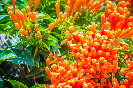 Beautiful orange trumpet flowers (Pyrostegia venusta) blooming background. Pyrostegia venusta is also known as Orange trumpet, Flame flower, Fire-cracker vine, flamevine, orange trumpetvine. Banco de Imagens