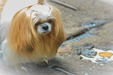 Cute long haired shih tzu dog is standin on dirty floor and look so sad when lost with his owner. Shih Tzu puppy also known as the Chrysanthemum Dog, is a toy dog breed weighing from 4 to 7.25 kilograms.