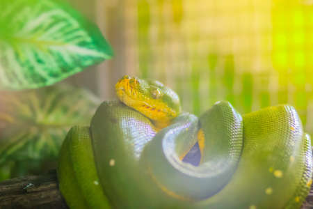 Cute Green tree python (Morelia viridis) on the tree branch. Green tree pythons are found throughout the tropical rainforests of Australia and New Guinea, both in the canopy and on the forest floor.