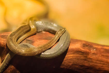 Group of water snakes (Homalopsidae) and their common name are water snakes, Indo-Australian water snakes, mud snakes, bockadam, ular air, and all are mildly venomous. Stock fotó