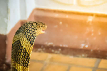 King cobra (Ophiophagus hannah) the world's largest venomous snake. King cobras are impressively venomous, large snakes native to Asia. They are called king cobras because they can kill and eat cobras