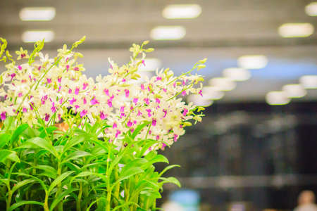 Beautiful decoration with Dendrobium orchid flower. Purple Dendrobium orchid flowers decorated in the building. Zdjęcie Seryjne