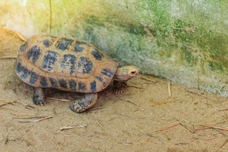The elongated or yellow-headed tortoise (Indotestudo elongata) occurs in tropical southeast Asia Standard-Bild
