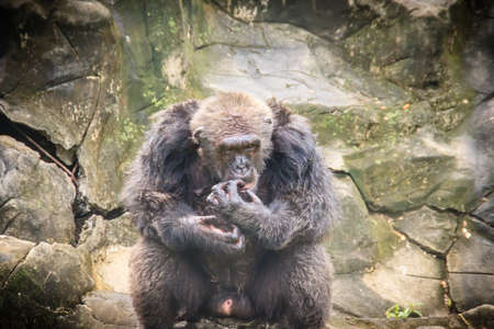 Cute Gorilla in the public park. Gorillas are ground-dwelling, predominantly herbivorous apes that inhabit the forest of central Sub-Saharan Africa. Stock Photo