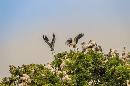 Flock of Open-billed stork, or Asian openbill birds on tree in the public park. The Asian openbill or Asian openbill stork (Anastomus oscitans) is a large wading bird in the stork family Ciconiidae.