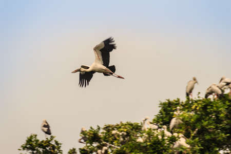 Open-billed stork, or Asian openbill is flying in the public park. The Asian openbill or Asian openbill stork (Anastomus oscitans) is a large wading bird in the stork family Ciconiidae.