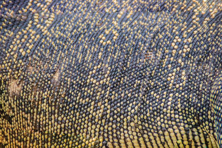 Asian water monitor (Varanus salvator) skin for texture and background. Malayan water monitor, common water monitor, two-banded monitor, rice lizard, ring lizard, plain lizard and no-mark lizard. Stock Photo