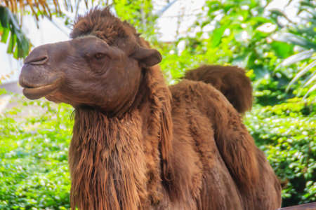Cute Bactrian Camel (Camelus ferus). They are at risk of extinction.