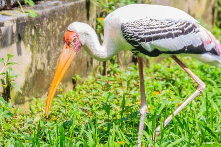 Cute Lesser adjutant stork in the nature. The lesser adjutant (Leptoptilos javanicus) is a large wading bird in the stork family Ciconiidae.