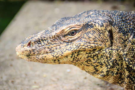 Close up the Asian water monitor (Varanus salvator), also called common water monitor, is a large varanid lizard native to South and Southeast Asia.