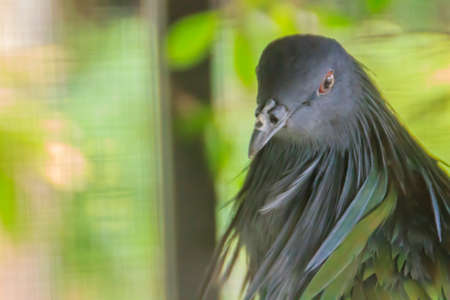 Cute Nicobar pigeon, or Nicobar dove (Caloenas nicobarica) in nature. In Thailand, the Nicobar is a very rare bird. By living in the evergreen forest or the beach of the Similan Islands only.